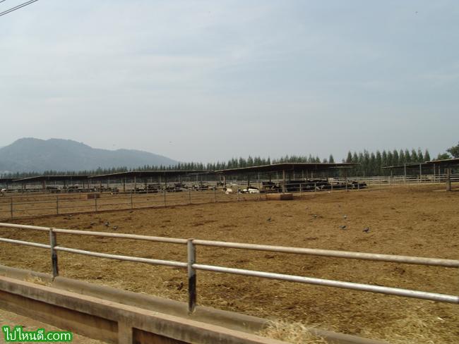 ฟาร์มวัว