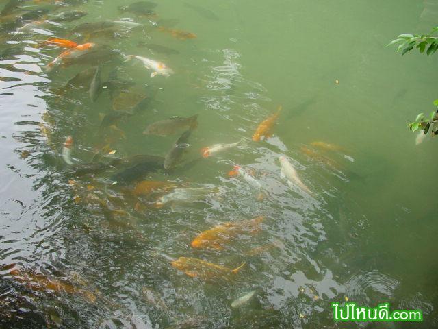 ฝูงปลาคร๊าฟที่เลี้ยง นอกถ้ำ