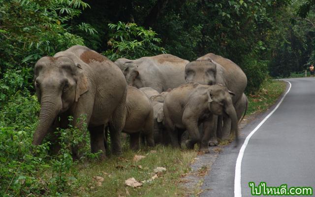 ช้างป่า เขาใหญ่