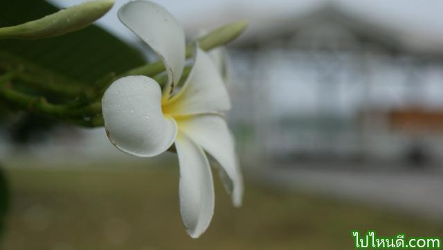ดอกลั่นทม เกาะสีชัง